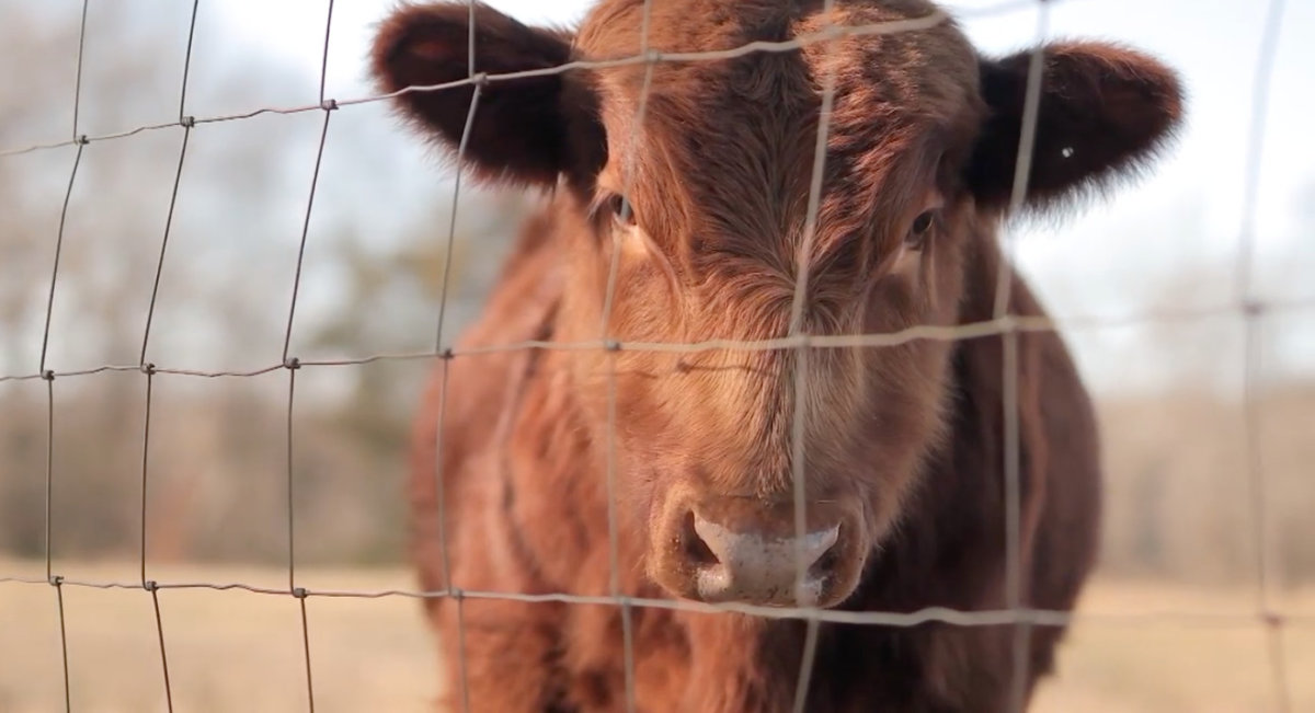 Red cow looking through fence